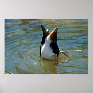 Pato buceando, cabeza bajo agua, búsqueda de alime impresiones