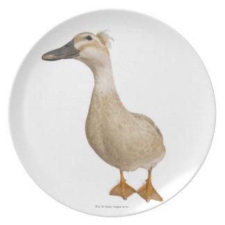 Pato con cresta femenino, 3 años platos