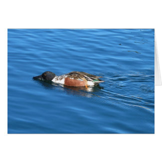 Pato cuchara septentrional tarjeta pequeña