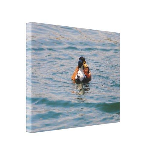 Pato de la natación lona envuelta para galerias