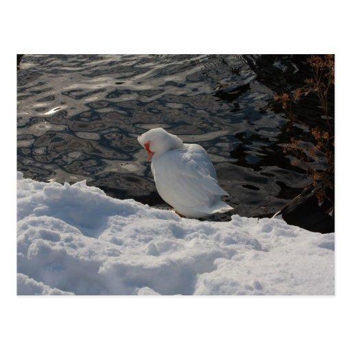 pato de Muscovy blanco en la nieve Tarjeta Postal