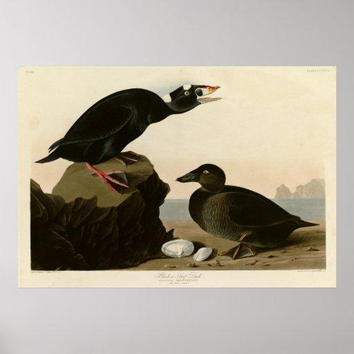 Pato del negro o de la resaca póster