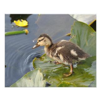 pato del pato silvestre del bebé 20X16 que se colo Arte Con Fotos