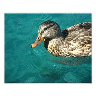 Pato del pato silvestre en el lago Tahoe Fotografía