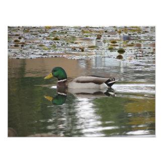 Pato del pato silvestre en la foto del meridiano d cojinete