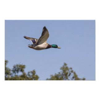 Pato del pato silvestre en vuelo cojinete