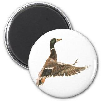 Pato del pato silvestre en vuelo imán redondo 5 cm