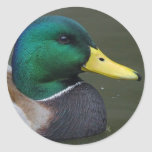 Pato del pato silvestre pegatina redonda