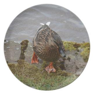 Pato del pato silvestre platos