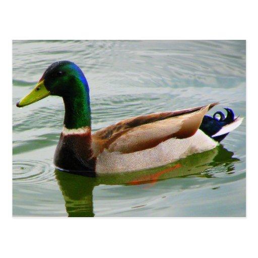 Pato del pato silvestre postal