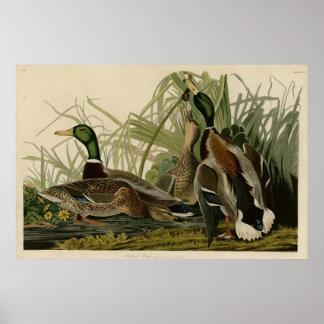 Pato del pato silvestre póster