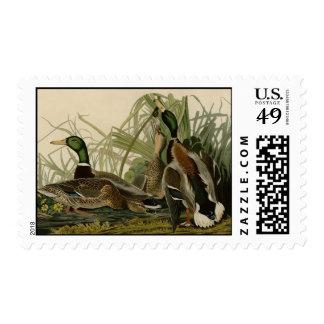 Pato del pato silvestre sellos