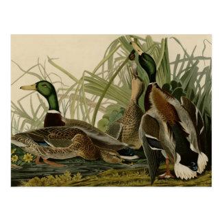 Pato del pato silvestre tarjetas postales