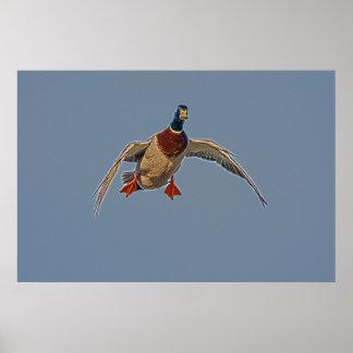 Pato del vuelo con el poster ahuecado de las alas