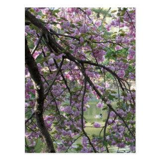 Pato entre las flores de cerezo postal