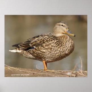 Pato femenino del pato silvestre poster