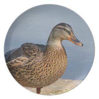 Pato femenino del pato silvestre plato de comida