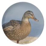 Pato femenino del pato silvestre platos