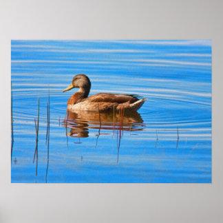 Pato femenino del pato silvestre póster