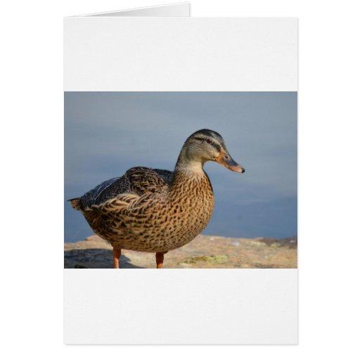 Pato femenino del pato silvestre tarjeta de felicitación