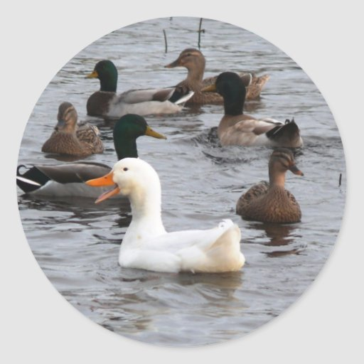 Pato fresco pegatina redonda