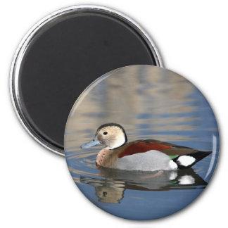 Pato, imán hermoso de la reflexión del trullo anil