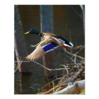 Pato masculino del pato silvestre en vuelo cojinete