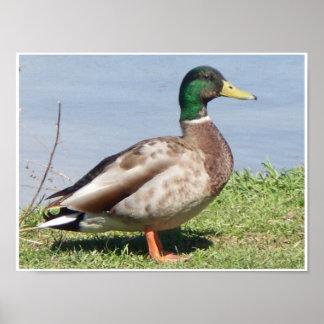Pato masculino del pato silvestre impresiones