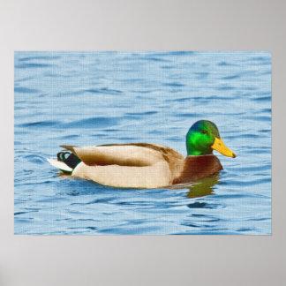 Pato masculino del pato silvestre posters