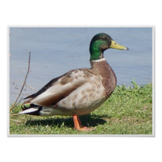 Pato masculino del pato silvestre póster