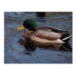 Pato masculino del pato silvestre tarjeta postal
