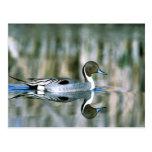 Pato rojizo septentrional postales