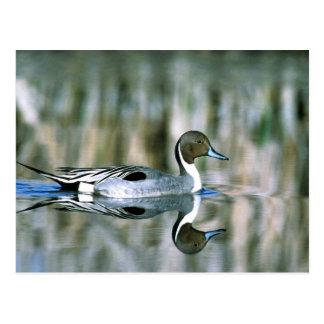 Pato rojizo septentrional tarjetas postales