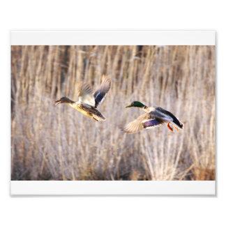 Pato silvestre Drake e impresión de la gallina Impresión Fotográfica