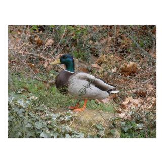 Pato silvestre en el parque del regente postal