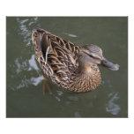 Pato silvestre femenino con descensos del agua fotografía