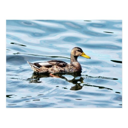 Pato silvestre femenino tarjetas postales