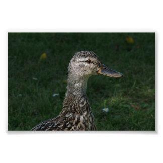 Pato silvestre fotografía