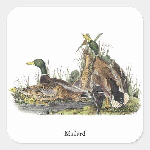 Pato silvestre, Juan Audubon Calcomanía Cuadradas Personalizadas