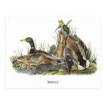 Pato silvestre, Juan Audubon Tarjetas Postales