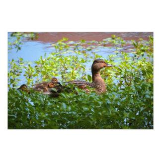 Pato silvestre y anadones fotografías
