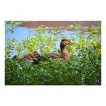 Pato silvestre y anadones fotografias