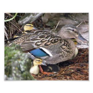 pato y sus anadones fotografias