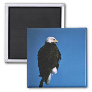 Patoga River National Wildlife Refuge Bald Eagle Fridge Magnets