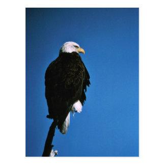 Patoga River National Wildlife Refuge Bald Eagle Postcard