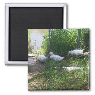 Patos blancos en un imán de la rampa