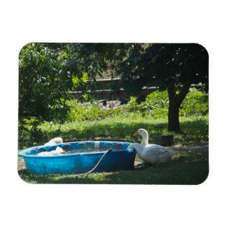 Patos blancos y una piscina rectangle magnet