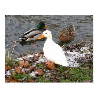 Patos de la postal de la leva del río