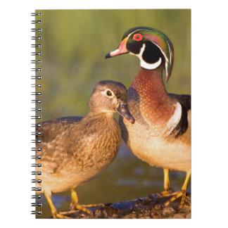 Patos de madera y hembra en humedal de la clave notebook