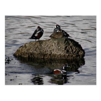 Patos del Harlequin, isla de Unalaska Postales